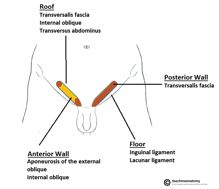 Surface anatomy of abdomen | www.surgicalnotes.co.uk