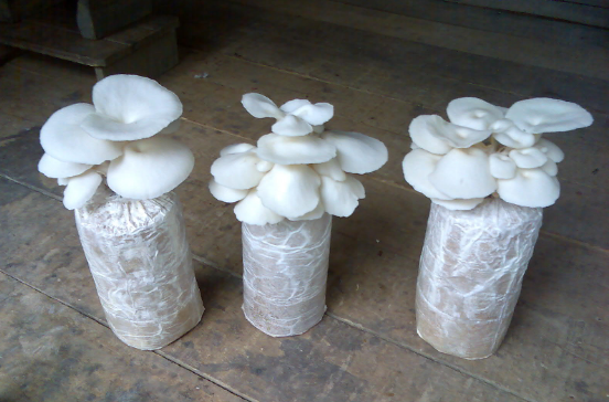 kangen panen jamur tiram