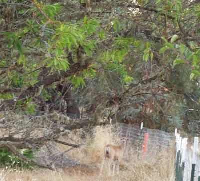 Deer on Vineyard Drive on Private Property, © B. Radisavljevic