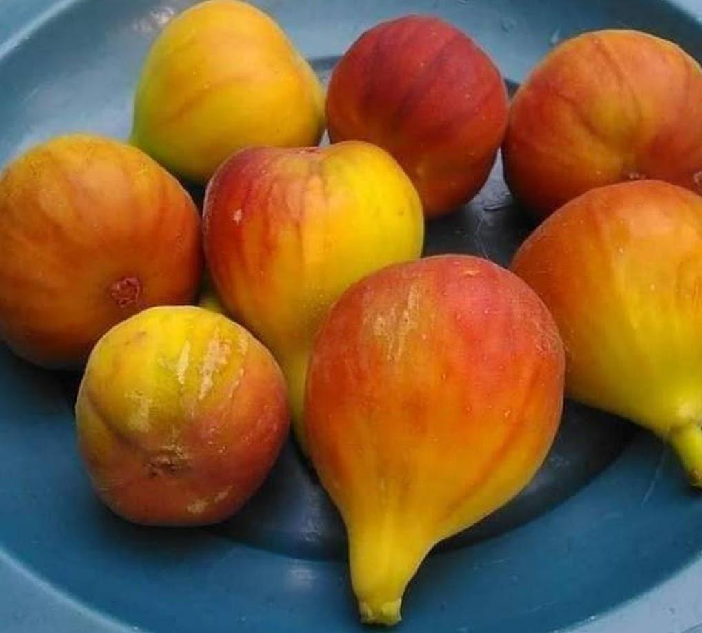 Bibit buah tin SYIRIAN HONEY fresh cangkok bibit pohon tin Sumatra Barat