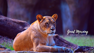 good morning lioness wild animal greetings live