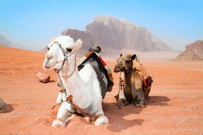 Верблюды отдыхают в красной пустыне Вади Рам