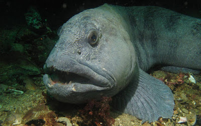 Gambar Ikan Wolf Fish