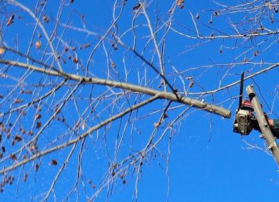 Gren som sågas av med motorsåg, blå himmel i bakgrunden