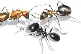 Ποια Είναι Η Μυρωδιά Που Δεν Αντέχουν Τα Μυρμήγκια Και Οι Κατσαρίδες;