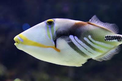 Peixe colorido de água doce.