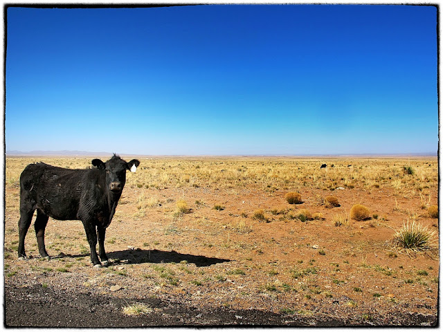 Cow in the nuclear desert, New Mexico