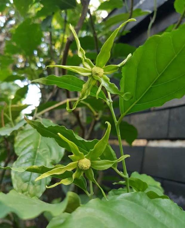 bibit Tanaman hias pohon hidup bunga kenanga tanjung kasturi Payakumbuh