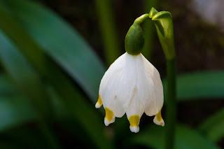 [Amaryllidaceae] Leucojum vernum – Spring Snowflake {Campanelle comuni}