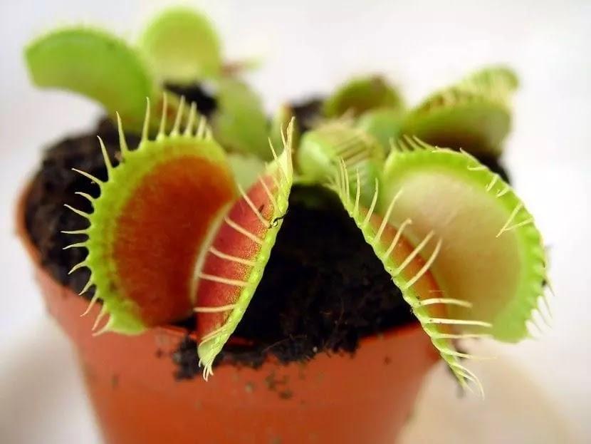Planta carnívora em um vaso de plantas