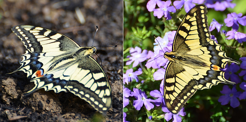 Machaon ou Grand porte-queue (Papilio machaon)