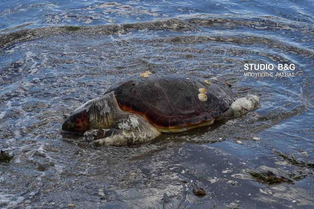 Νεκρή θαλάσσια χελώνα στο Πόρτο Χέλι