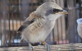Burung Cendet - Memilih Burung Cendet Super atau Calon Juaran Bakalan - Penangkaran Burung Cendet