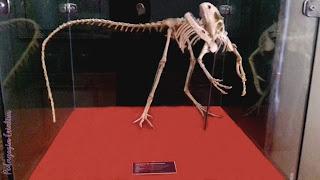 Fóssil Esqueleto de Santanaraptor Museu Nacional RJ
