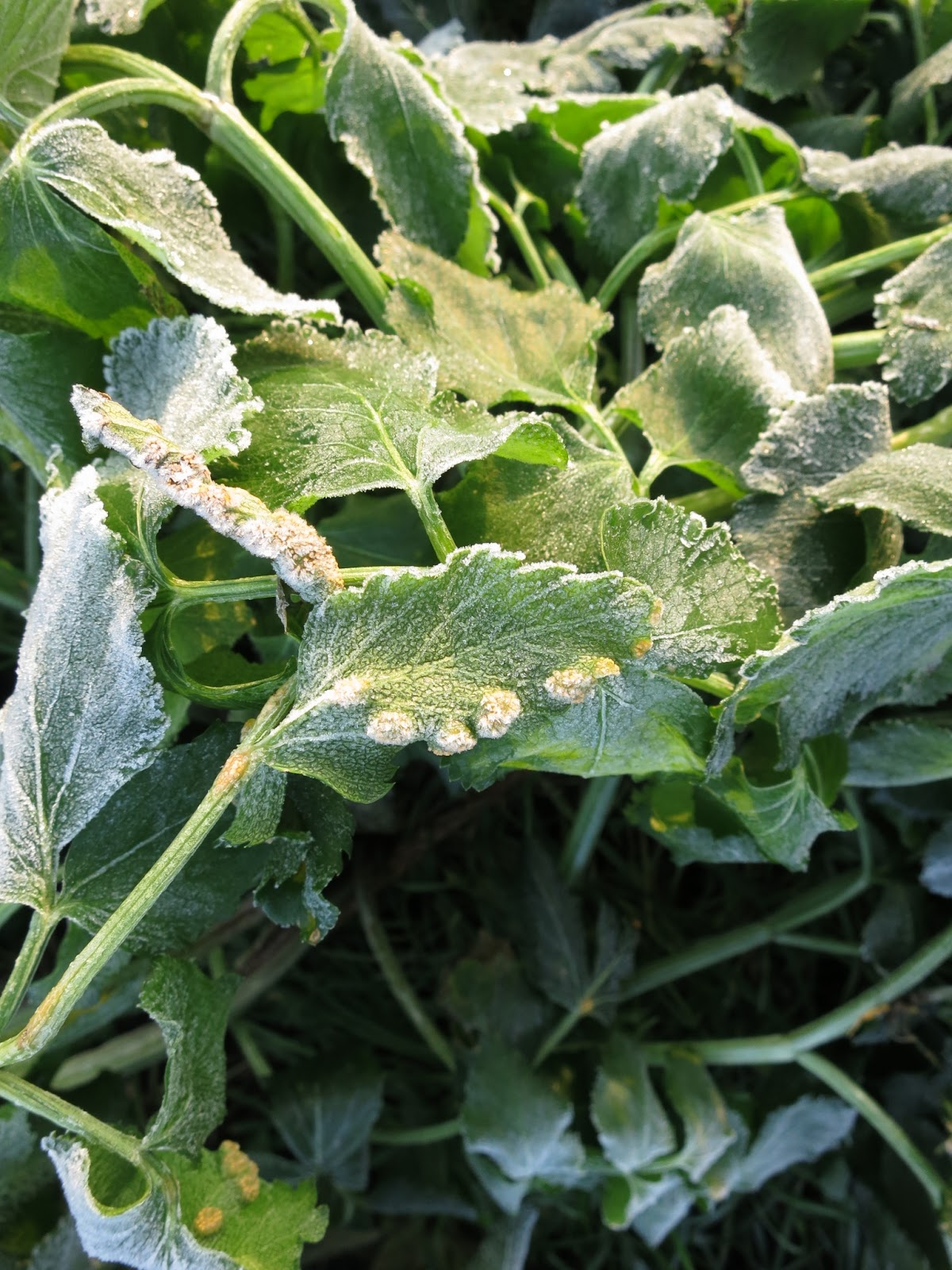 Puccinia smyrnii (Alexanders' Rust) and frost.