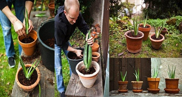 How To Grow Aloe Vera At Home (And Health Benefits)