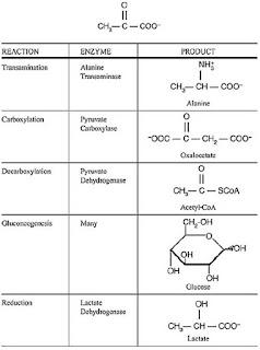 Metabolic Fate of Pyruvate
