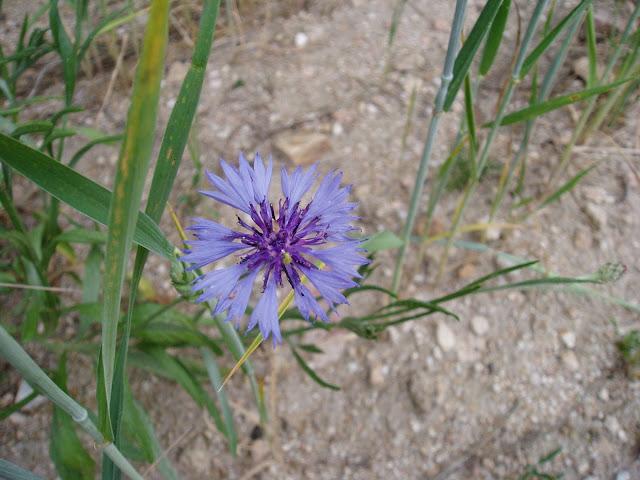 AZULEJO-Centaureac-yanus