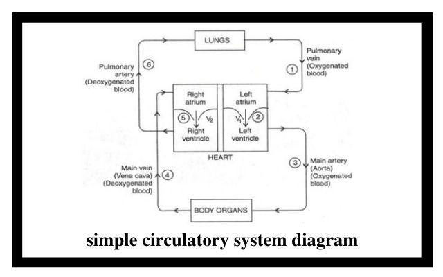 simple circulatory system diagram