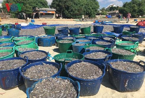 Cá cơm về dày ngư dân Quảng Ngãi phấn khởi