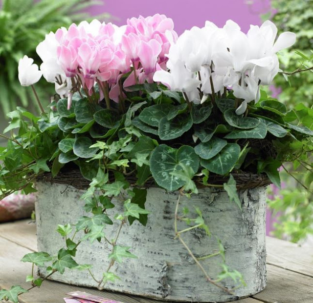 Cyclamen Persicum INDOOR PLANT POTTED