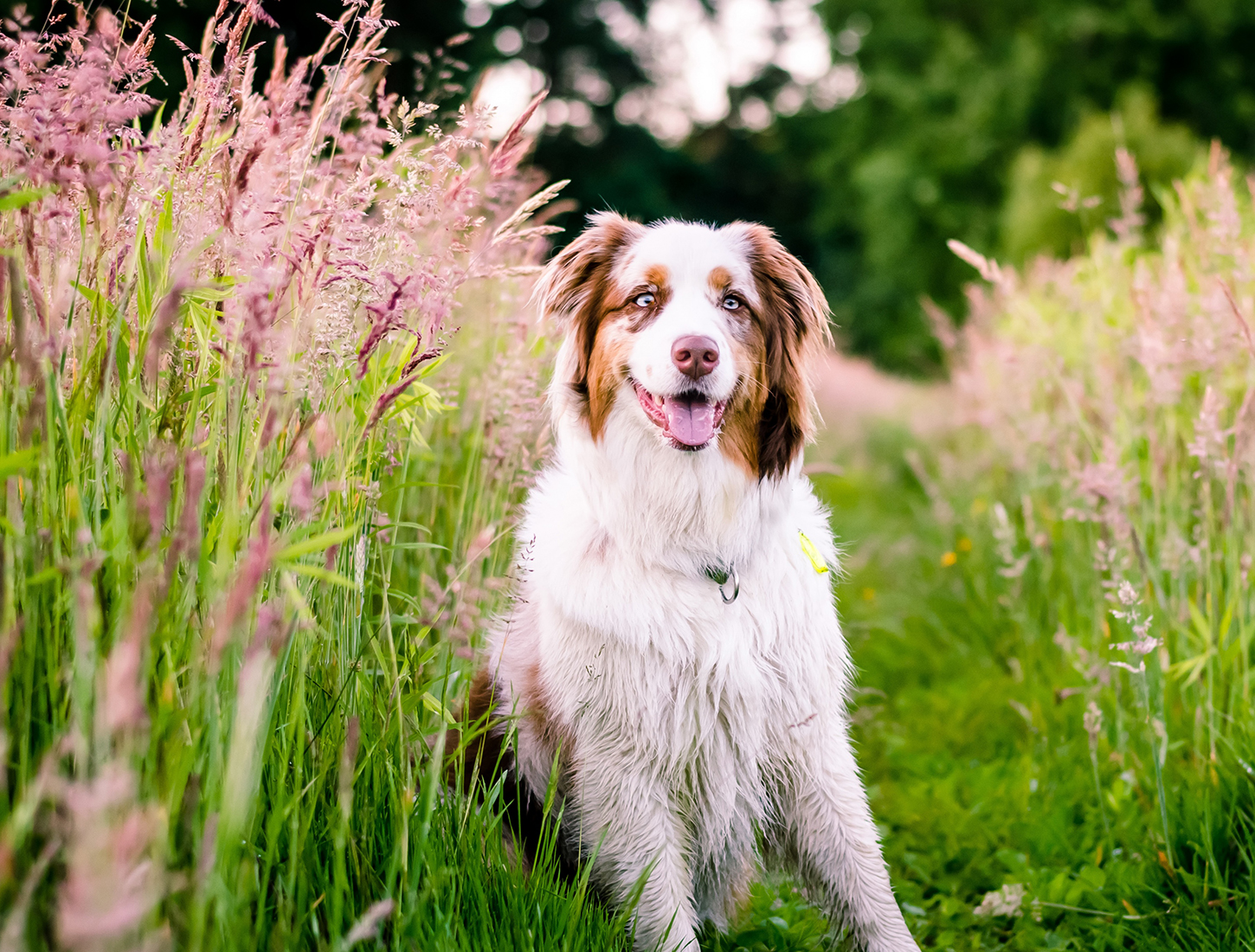 Allergies in Dogs: Symptoms and Treatment | Australian Dog Lover