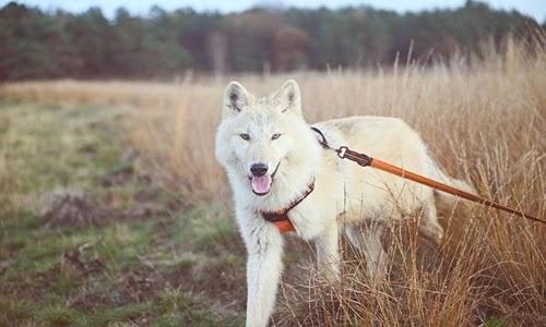 الكلب الذئب