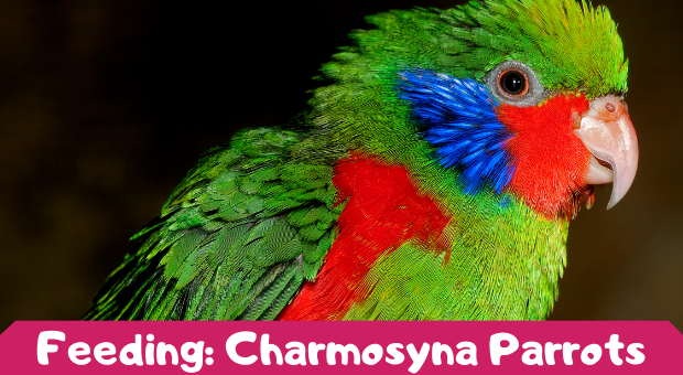 how to feed Charmosyna Parrots