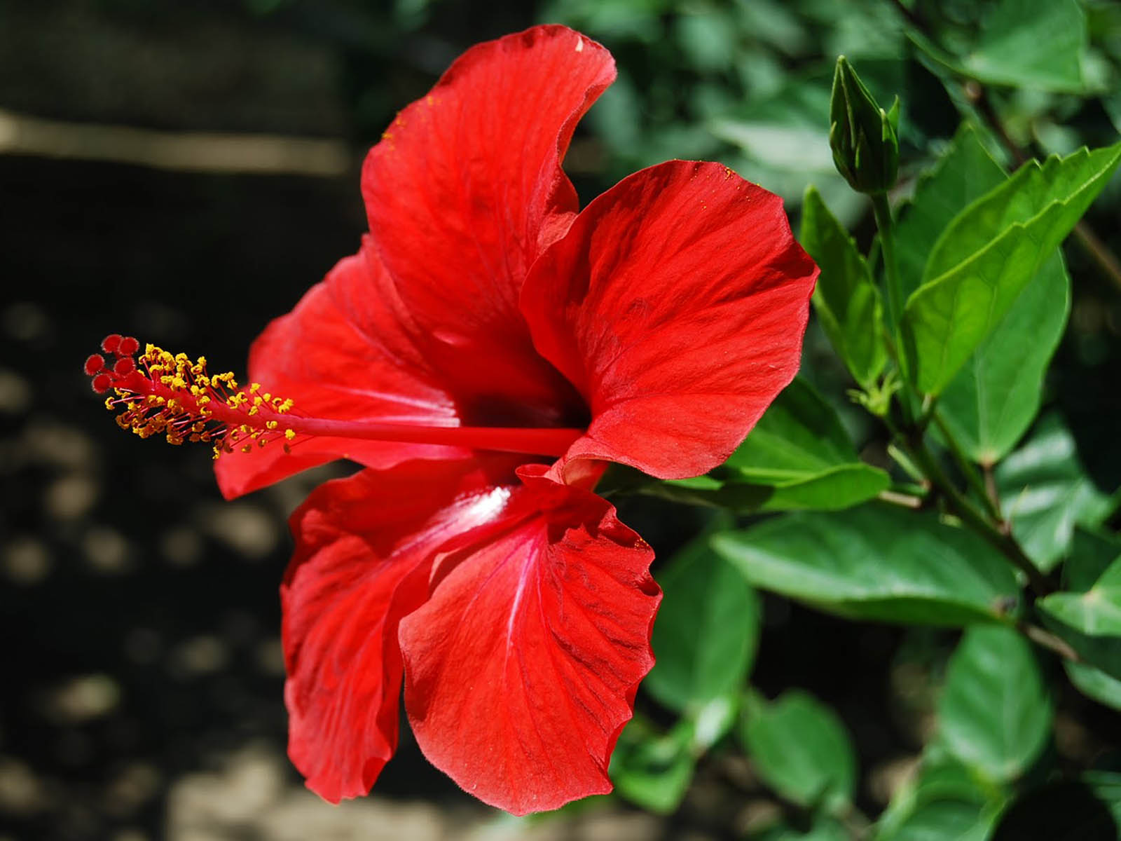 Wallpapers: Hibiscus Flowers Wallpapers