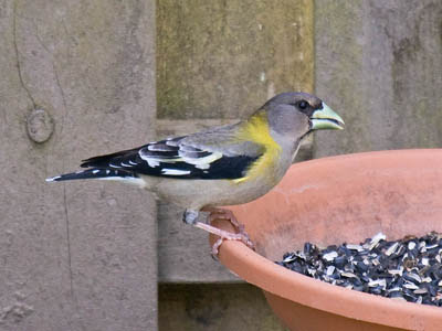 Photo of Evening Grosbeak eating sunflower seeds