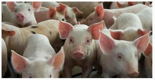 Enfermedad que afecta a los cerdos fue detectada en 11 provincias del país.
