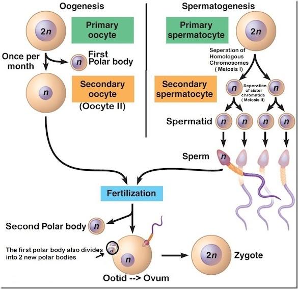 Perbedaan Oogenesis dan Spermatogenesis pada Manusia