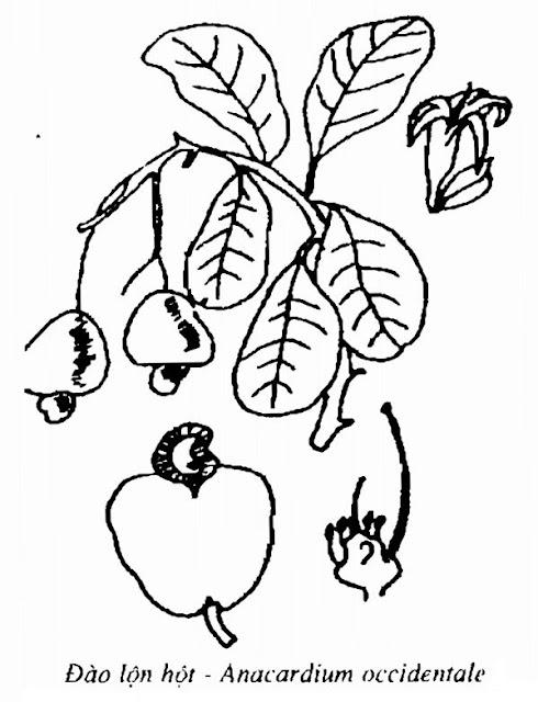 Hình vẽ Đào Lộn Hột - Anacardium occidentale - Nguyên liệu làm thuốc Đắp vết thương Rắn Rết cắn