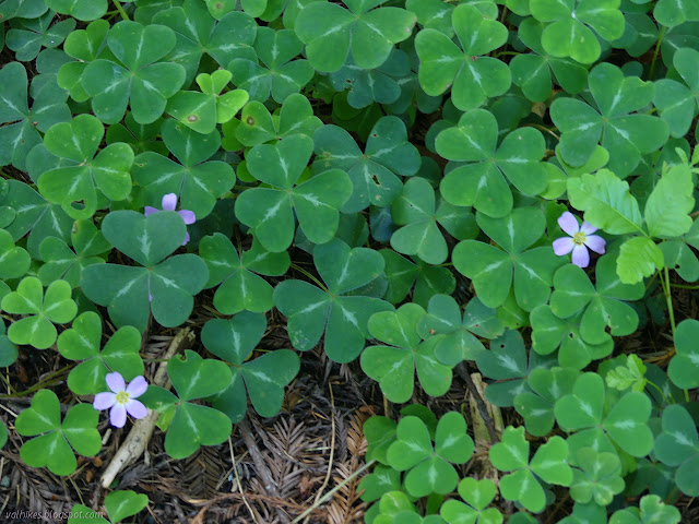 sorrel with flowers