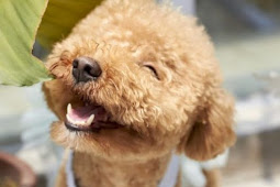 Anjing Poddle Yang Paling Cerdas