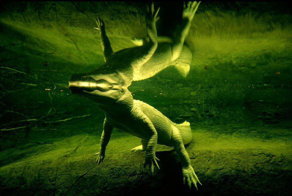 alligator, animal wallpapers HD
