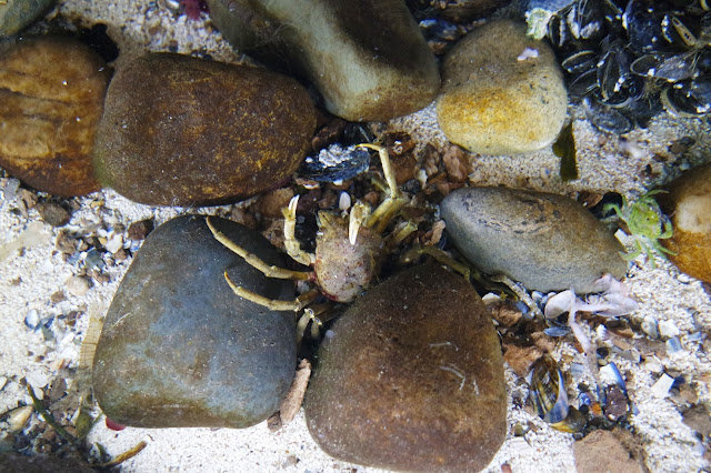Picture taken from above of a green crab nestling between rocks