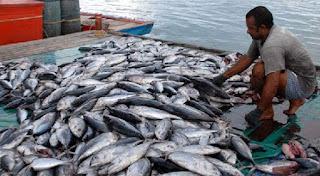 cara memasak ikan tongkol sambal,cara memasak ikan tongkol yang enak,cara memasak ikan tongkol pedas,cara memasak ikan tongkol segar,cara memasak ikan tongkol bumbu kuning,