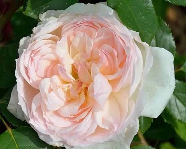 Stephanie Baronin zu Guttenberg сорт розы фото