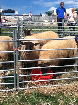Sheep at Okehampton Show