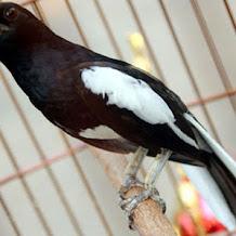 Rahasia Pemasteran Burung Kacer Ngerol Patah Patah