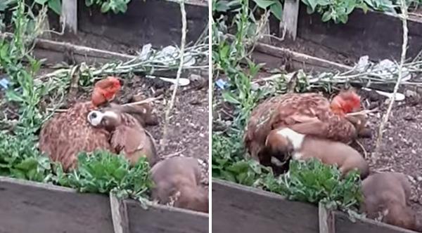 دجاجة تتبنى جراء وتحاول تقليد صوت أمها... فيديو