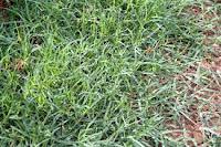 Durva Grass.