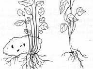Gambar Perbanyakan dengan umbi batang