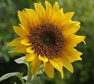 Benarkah Biji Bunga Matahari untuk Diet?
