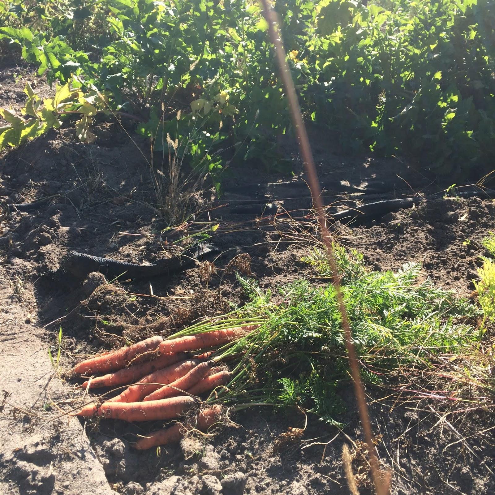 moestuin herfst najaar volkstuin zon mulch permacultuur wortel