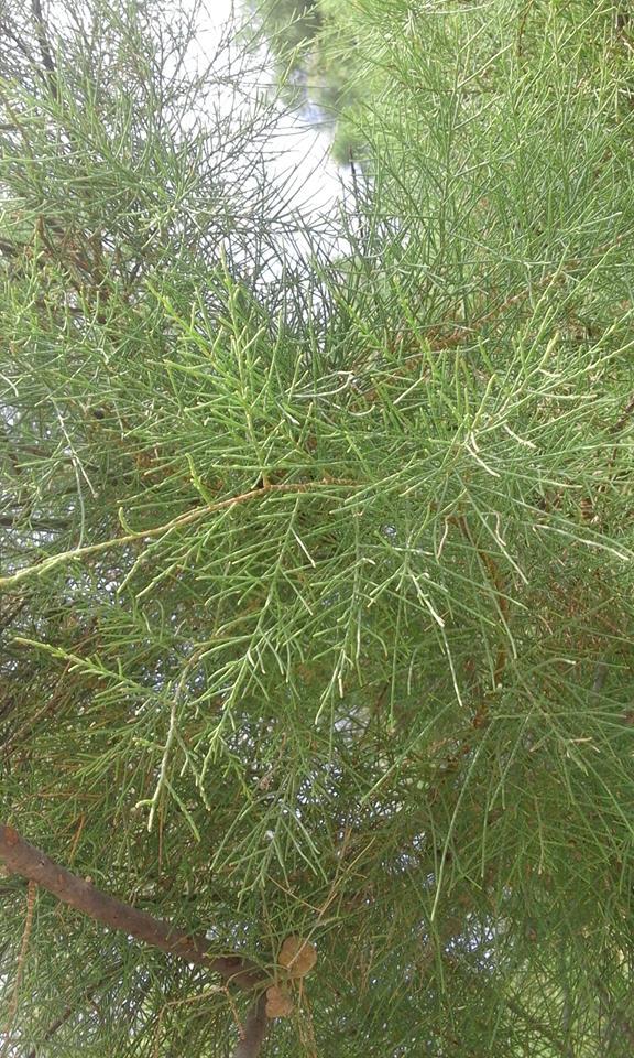 شجرة الأثل أعداد أيمن جادالله العامري قبيلة بني عامر الملالحة