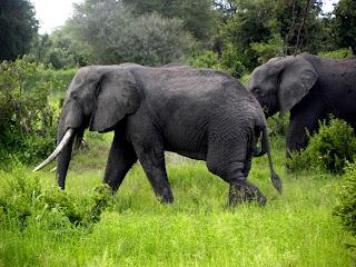 Quelle est la taille d'un éléphants Dick