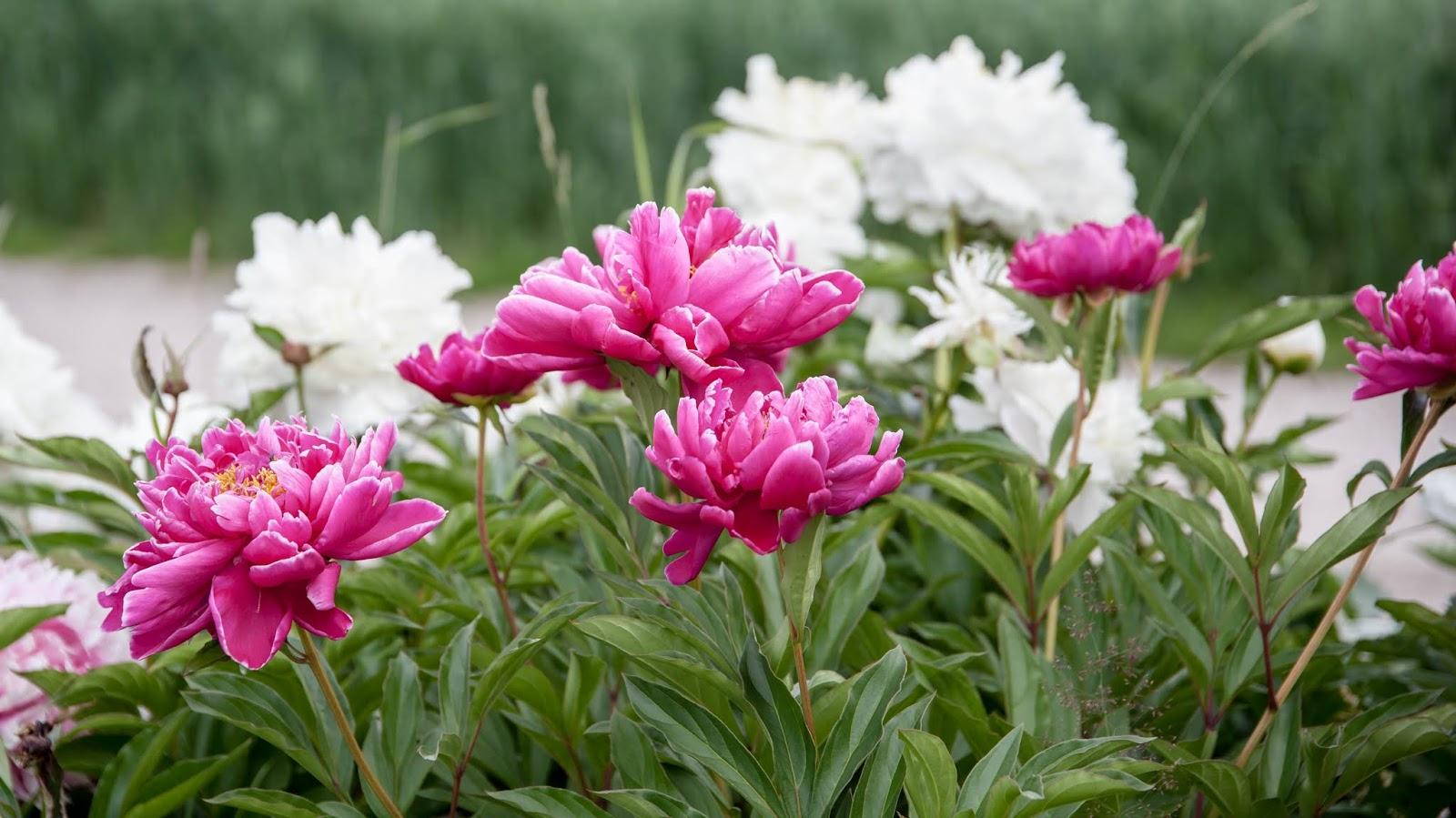 pioni kukkii
