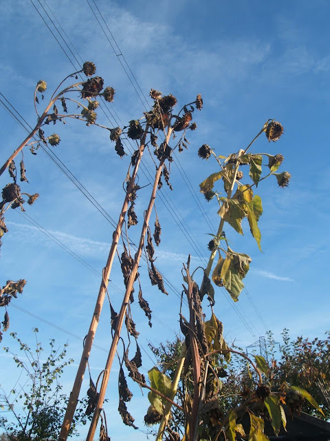 tall sunflowers reach into the sky at the allotment